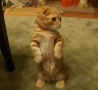 Funny Links - Super Cute Standing Ginger Cat.