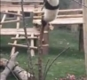 Cool Links - Baby Panda in a Tree