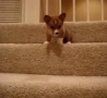 Funny Links - Puppy Is Scared To Go Down Stairs!