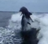 Cool Links - Two Dolphins Collide Mid-Air