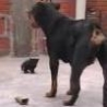 Funny Links - Tough Kitty Vs Rottweiler