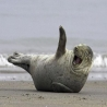 Funny Links - Walrus Laughing 2