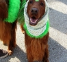 St. Patricks Day - Dogs Join in the Fun