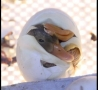 Cool Links - Hatching Duck