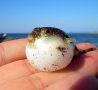 Cool Pictures - Mini Blowfish