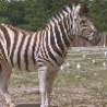 Funny Animals - Zebras